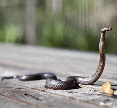 Nada de torniquete ou chupar sangue: o que fazer em caso de picada de cobra (Fonte: UOL)